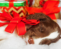 Puppy With Red Bow Sleeping By Gifts. English Springer Spaniel puppy with red bow sleeping by gifts Royalty Free Stock Images