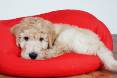 Puppy on red cushion. Goldendoodle puppy resting on red cushion Stock Photos