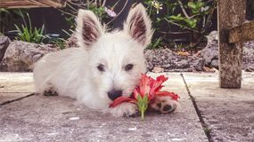 Puppy with a red hibiscus flower: young west highland terrier we. Stie dog eating blossom in garden on patio royalty free stock photos