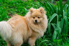 Puppy red jumping outdoors. Pet walks on a summer lawn Royalty Free Stock Photos