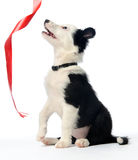 Puppy and red ribbon Stock Photo