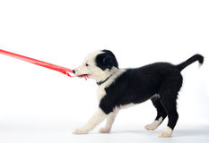 Puppy and red ribbon. Gorgeous puppy tugging on christmas ribbon stock photography
