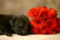 Puppy and Red Roses Stock Image