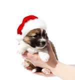 Puppy in a red Santa hat. Isolated on white background. Royalty Free Stock Images
