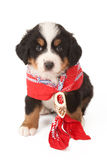 Puppy with red scarf Royalty Free Stock Photo