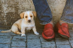 Puppy and the red shoes Royalty Free Stock Photography