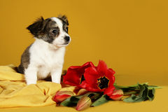 Puppy and red tulips flowers Royalty Free Stock Photos