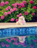 Puppy reflection. Tiny Pomeranian puppy posing by the pool Stock Photography