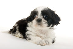 Puppy Resting Royalty Free Stock Image