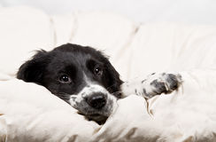 Puppy resting on a blanket Royalty Free Stock Photo