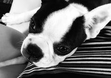 Puppy resting, Boston Terrier stock photo