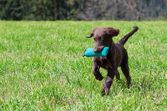 Puppy retrieves. Flat-Coated Retriever Puppy retrieves a Dummy stock image