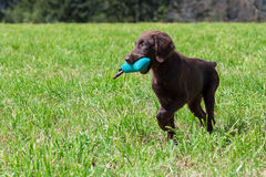 Puppy retrieves. Flat-Coated Retriever Puppy retrieves a Dummy stock images