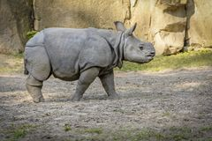 Puppy Rhinoceros Walk. Walk in the Safari royalty free stock photo
