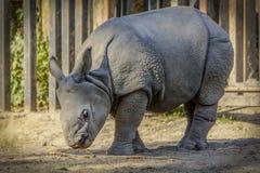 Puppy Rhinoceros Walk. In the Safari stock photo