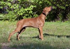 Puppy Rhodesian Ridgeback Royalty Free Stock Image