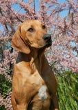 Puppy Rhodesian Ridgeback Royalty Free Stock Photo