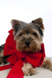 Puppy with ribbon Stock Photo