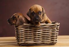 Puppy, rieten mand Stock Foto's