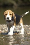 Puppy in river stock image