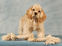 Puppy with rope toy. Cocker spaniel puppy playing with tug rope toy stock photo