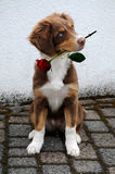 Puppy with rose Stock Images