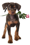 Puppy with rose Stock Photography