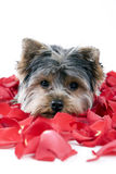 Puppy in rose petals stock photos
