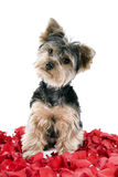 Puppy in rose petals. Adorable Yorkie puppy in rose petals royalty free stock photography