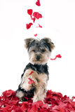 Puppy in rose petals. Adorable Yorkie puppy in falling rose petals royalty free stock images