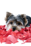 Puppy in rose petals. Adorable Yorkie puppy in rose petals stock image