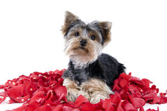 Puppy in rose petals Royalty Free Stock Photos