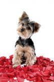 Puppy in rose petals. Adorable Yorkie puppy in rose petals stock photo