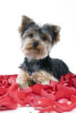 Puppy in rose petals. Adorable Yorkie puppy in rose petals royalty free stock images
