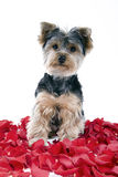 Puppy in rose petals Stock Photography