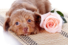 Puppy with a rose on a rug. Stock Image