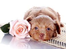 Puppy with a rose on a rug. Royalty Free Stock Images