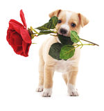 Puppy with a rose. Royalty Free Stock Photography