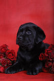 Puppy and roses Royalty Free Stock Image