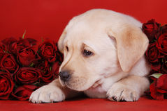 Puppy and roses Royalty Free Stock Images