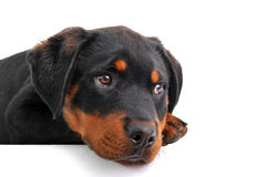 Puppy rottweiler Royalty Free Stock Photos