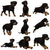 Puppy Rottweiler Stock Photos