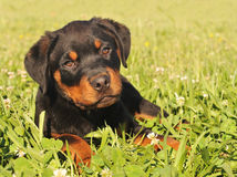 Puppy rottweiler royalty free stock images