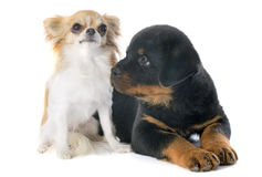 Puppy rottweiler and chihuahua Stock Images