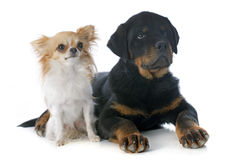 Puppy rottweiler and  chihuahua Royalty Free Stock Image