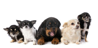 Puppy rottweiler and chihuahuas Stock Images
