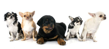 Puppy rottweiler and chihuahuas Stock Photography