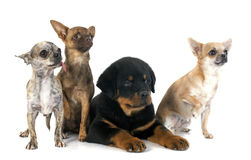 Puppy rottweiler and chihuahuas Royalty Free Stock Photo