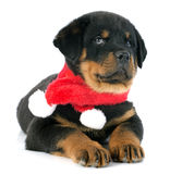 Puppy rottweiler christmas Royalty Free Stock Image