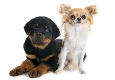 Puppy rottweiler en chihuahua Stock Afbeeldingen